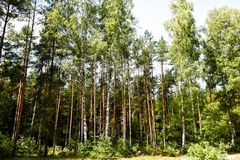 Many pine trees in the forest. Many green pine trees and blue sky in the forest in sunny day stock photos