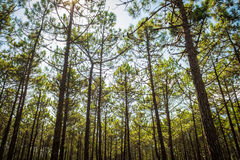 Many pinewood Trees. With blue sky Royalty Free Stock Photos