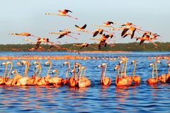 Free Many Pink Beautiful Flamingos In A Beautiful Blue Lagoon. Water Reflections. Mexico. Celestun National Park. Royalty Free Stock Image - 146786126