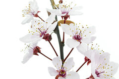 Many Pink Cherry Plum or Myrobalan Blossoms. Cherry Plum or Myrobalan Blossoms, format filling as background Stock Photos