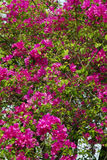 Many pink flower Stock Photography