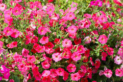 Many pink flowers. Beautiful and bright plant. Blooming flower bed. Royalty Free Stock Photography