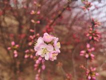 White peach flowers in spring. Many pink flowers and White peach flowers in spring.They are blossomming in the field stock photo