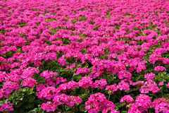Pink geraniums. Many pink geraniums flowers with shallow depth af field Stock Photography