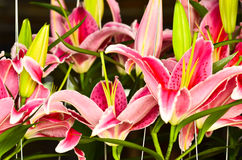 Many Pink lilly Stock Photo
