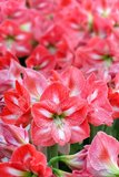 Many Pink Lily Flowers Stock Photo