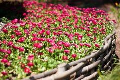 Many pink margarites Stock Photos