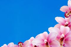 Many pink orchid with blue background stock photos