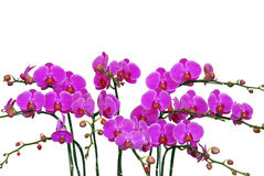 Many pink orchid on white Royalty Free Stock Photo