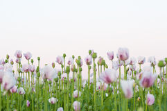 Many pink poppy flowers Royalty Free Stock Photos