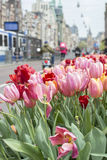 Many pink and red tulips on the street in Amsterdam in the spring with buildings. Many pink and red tulips on the street in Amsterdam in the spring with some royalty free stock images