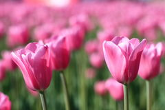 Many pink tulips 2. Many pink tulips located aflat Royalty Free Stock Photography