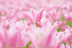 Many pink tulips in garden Stock Photography