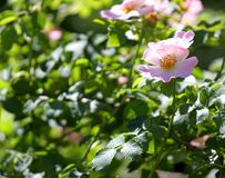 Many pink wild ROSES in a Bush of thorns in spring Royalty Free Stock Photos
