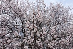 Many pinkish white flowers on branches of apricot in spring. Many pinkish white flowers on branches of apricot tree in spring royalty free stock photography