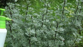 Many Plant-louse on wormwood bush and gardener spraying its stock video