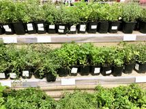 Many plant seedlings in plastic boxes on store shelves. Gardening concept - Many plant seedlings in plastic boxes on store shelves royalty free stock photo
