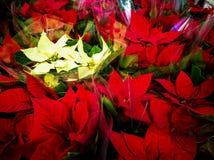 Many poinsettia flowers stock image