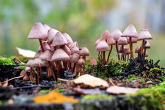 Many poisonous. Mushrooms on the same tree stump Stock Photo