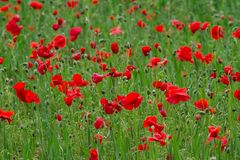 Many red poppies in a field a cloudy sommer day. Many poppies in a field a cloudy  sommer day Stock Images