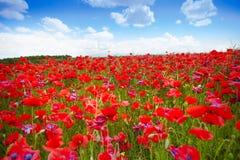 Many poppies field Royalty Free Stock Photography