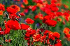 Many poppies grow on the plantation stock image
