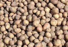 Many potato Stock Image