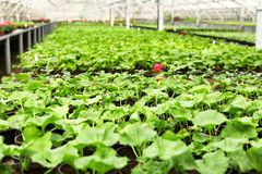 Many pots with soil and fresh seedlings. In greenhouse stock photo