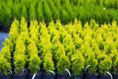 Many pots with Thuja occidentalis sold in garden center. Also kn. Own as Northern White Cedar, eastern arborvitae, Eastern White Cedar, Arborvitae, Eastern Stock Photos