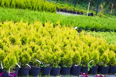 Many pots with Thuja occidentalis sold in garden center. Also known as Northern White Cedar, eastern arborvitae, Eastern White Cedar, Arborvitae, Eastern Stock Photography