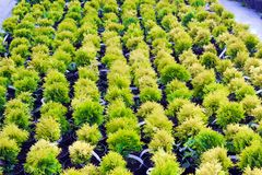 Many pots with Thuja occidentalis sold in garden center. Also known as Northern White Cedar, eastern arborvitae, Eastern White Cedar, Arborvitae, Eastern Stock Image