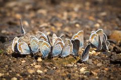 Many Pretty Gossamer-winged Butterflies Resting Together Stock Photography
