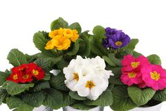 Many Primrose potted plants Stock Photography
