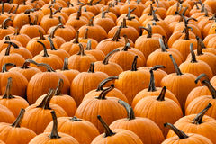 Many pumpkins Royalty Free Stock Images