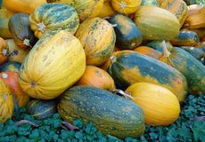 Many pumpkins of different colors. As a natural background stock images