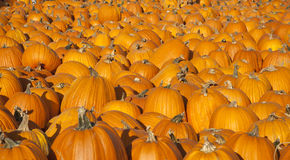 Many pumpkins Stock Photo