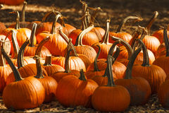 Many Pumpkins in Field of Straw Stock Images