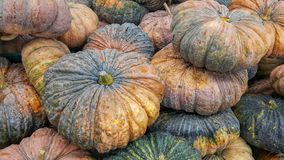 Many pumpkins after harvest. Top view many pumpkins after harvest royalty free stock photos
