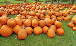 Many pumpkins on a lush lawn with cedar fence Stock Photos