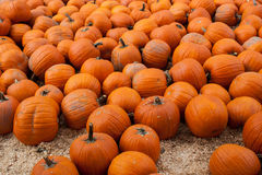 Many pumpkins in a pumpkin patch Stock Photos