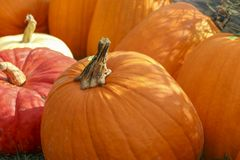Pumpkins at the Pumpkin Patch Royalty Free Stock Image