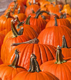 Many Pumpkins in a Row in Pumpkin Patch Stock Photo