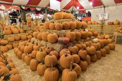 Many Pumpkins selling at a pumpkin patch stock photography