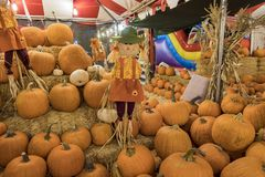 Many Pumpkins selling at a pumpkin patch royalty free stock photo