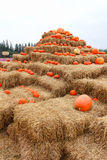Many pumpkins on stack. Stock Image
