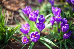 Many purple crocus flowers grow on green grass blurred background close up macro, first spring flower purple saffron royalty free stock photos