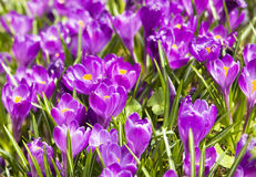 Purple crocuses Royalty Free Stock Photography