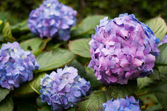 Many purple hydrangea flowers growing in the garden, floral back Royalty Free Stock Image