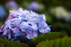 Many purple hydrangea flowers growing in the garden, floral back Stock Image