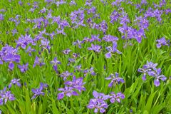 Many purple wall iris flowers blooming in the field. In spring royalty free stock photography